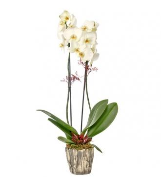 Dekoratif Orkide